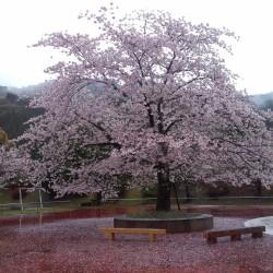 蜂の巣公園の桜