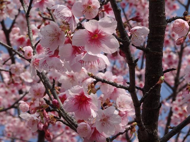 日南寒咲1号桜