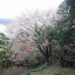 南郷山桜 (2)