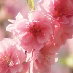 桃の花 (6)