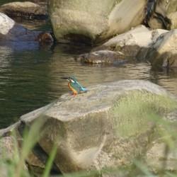 日南市の鳥カワセミ