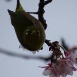 日南寒咲1号桜 (6)