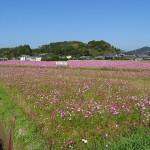 コスモスの花畑(4)