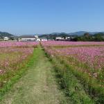 コスモスの花畑(5)