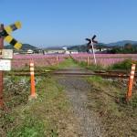コスモスの花畑(3)
