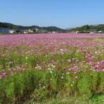 コスモスの花畑(2)