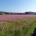 コスモスの花畑(6)