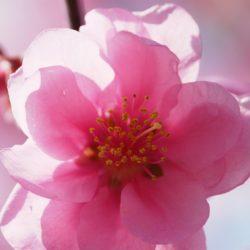 桃の花 (4)