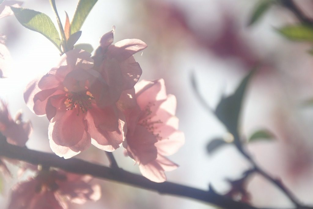 桃の花 (5)