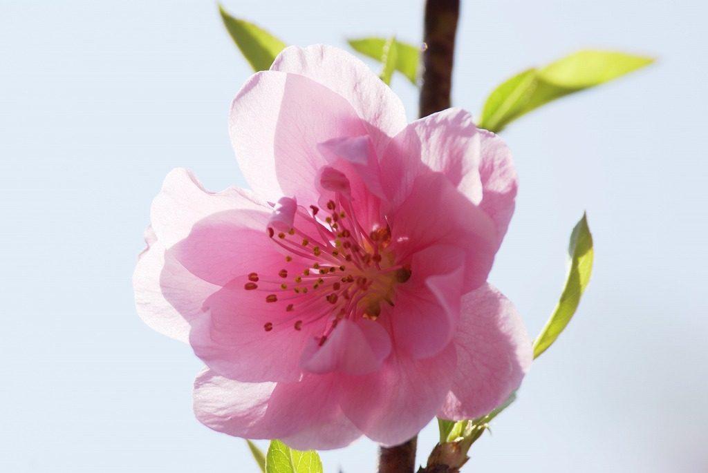 桃の花 (7)