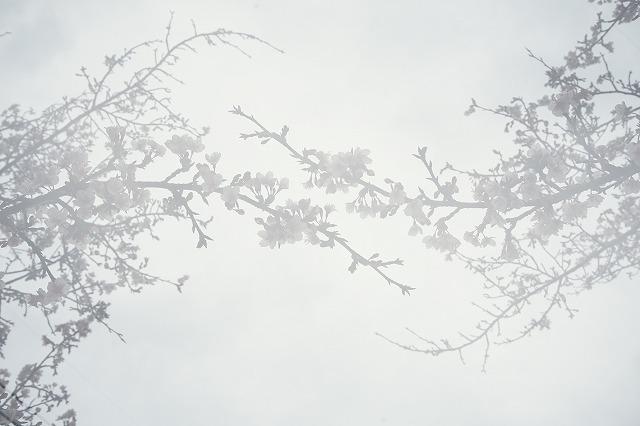 日南寒咲桜