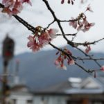 日南寒咲桜 (5)