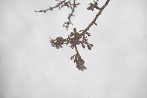 日南寒咲桜 (2)