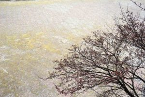 日南寒咲1号桜 (2)