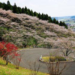 天ヶ城公園桜 まつり