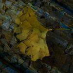 イチョウの葉 (3)
