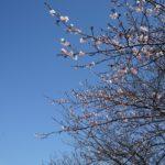 日南寒咲1号桜 (5)