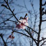 日南寒咲1号桜 (3)