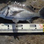 黒鯛(チヌ) (2)